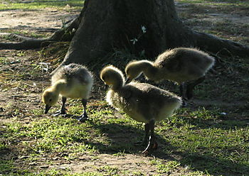 Preteen goslings 5-28
