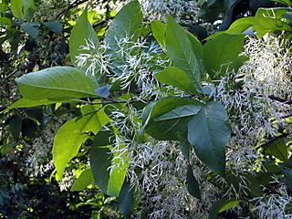 Feathery tree 5-30
