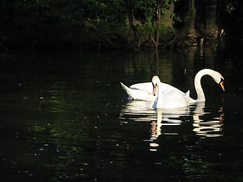Two swans 5-28
