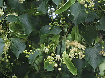 Linden flowers 6-17