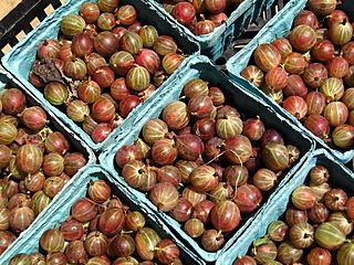 Gooseberries 6-28