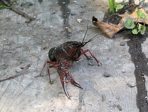 Crayfish 1 6-30