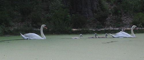 Swans on duckweed