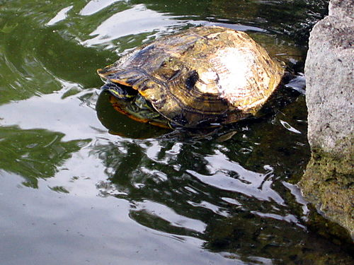 Turtle released