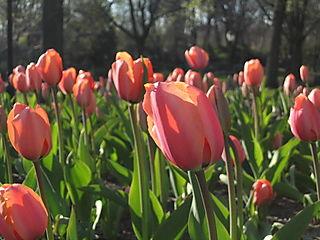 Rosey tulips 4-17