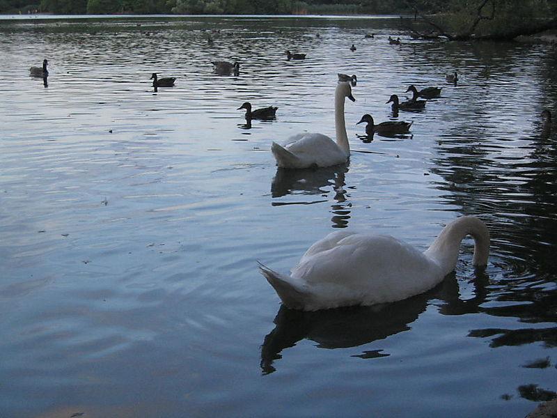 Swans 8-04