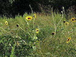 Yellow daisies 8-20