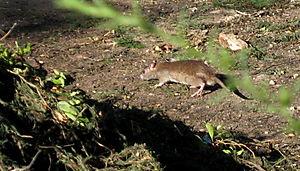 Ratty 8-20