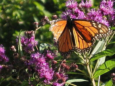 Monarch 8-20