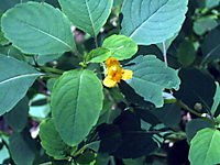 Jewelweed 8-27