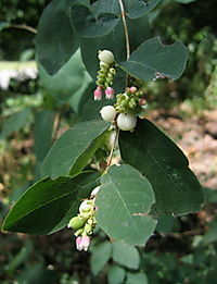 Whiteberry shrub 8-27