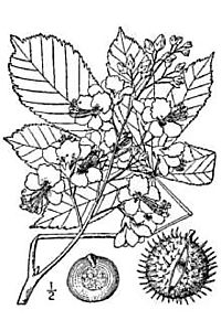 Botprint aesculus hippocastanum