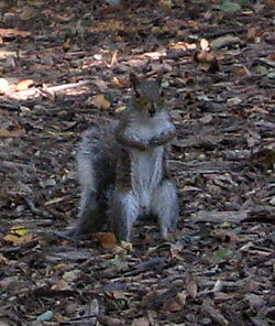 Squirrel standing 9-17