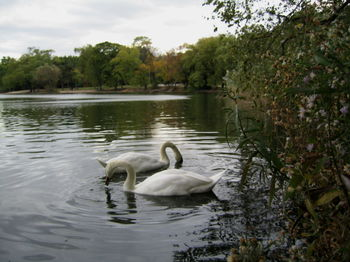 Swans on lake 10-22