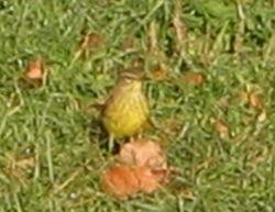 Confusing warbler 10-24