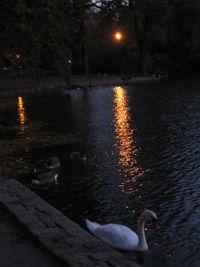 Dusk swans 10-29