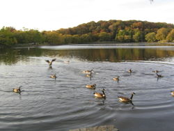 Geese migrate 11-02