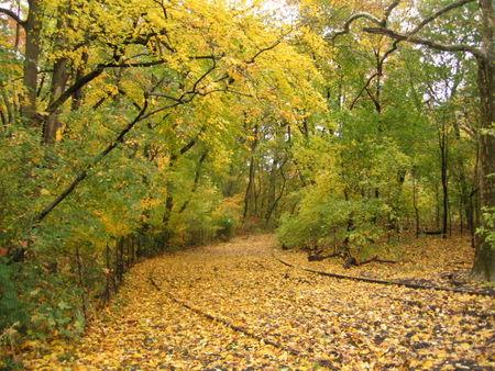Yellow woods 11-06