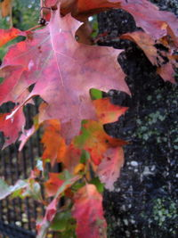 Red oak trunk 11-06