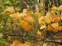Yellow oak leaves 11-06