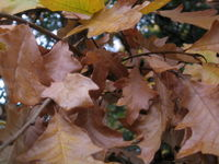 Brown oak leaves 11-06