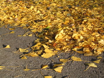 Ginkgo leaves on ground 11-17