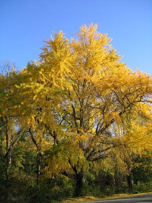 Golden ginkgo vert 11-17