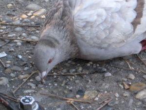 Pied pigeon 11-23