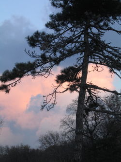 Early twilight pine 11-25