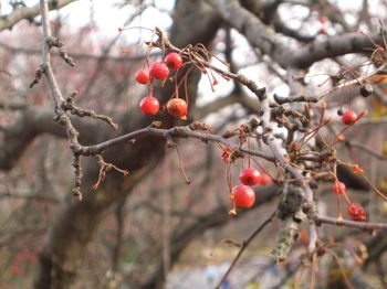 Red berry tree 12-06