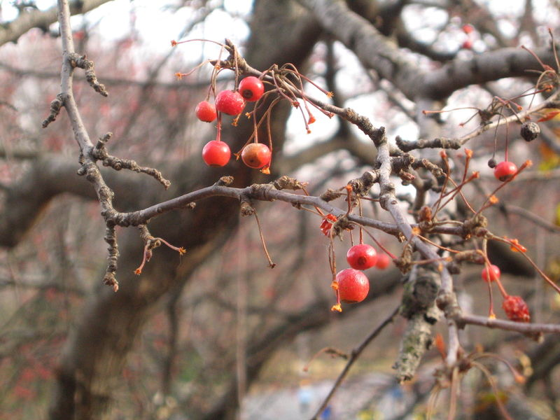 Red Berry Tree 12 06