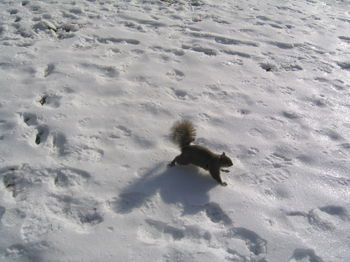 Snow squirrel 12-23