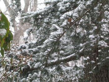 Vale snowy pine 1-15