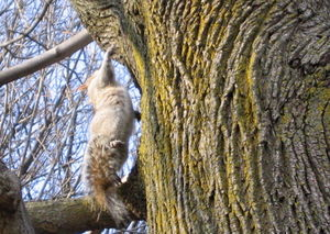 Squirrel armpit 1-23