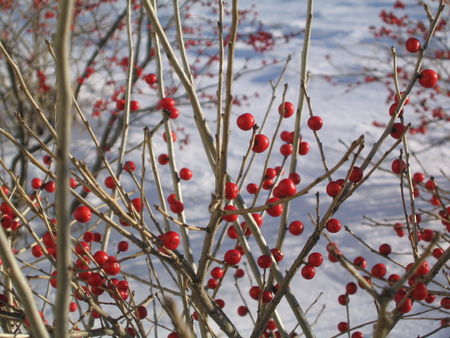 Red berries in snow 2-05