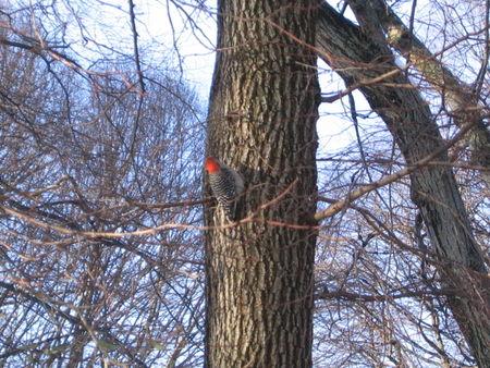 Woodpecker on tree 2-05