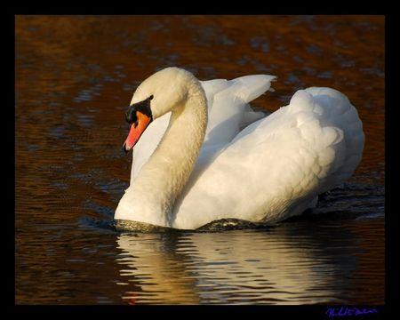 MR sun swan