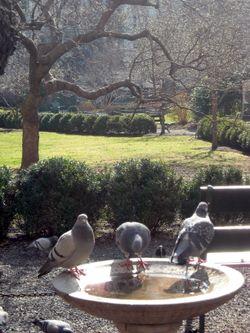 Gramercy pigeons 3-10