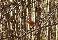 Cardinal detail 3-30