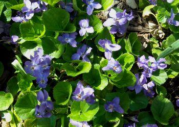 Viola odorata 3-09