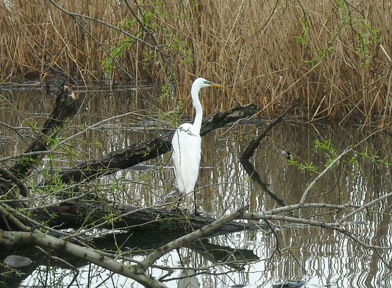 Egret in willows 4-22