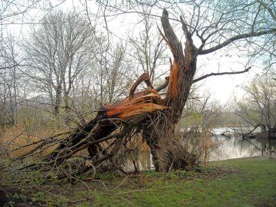 Deadfall willow 4-22