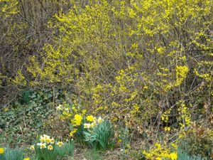 Warren daffodils forsythia