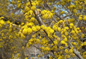 Warren yellow branch