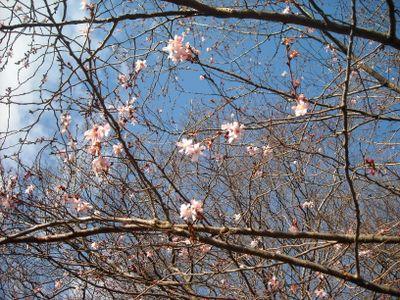 Pink tree 3-30