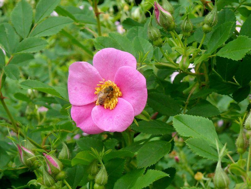 Rose & bee 6-02