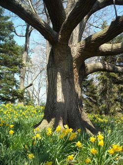 Daffodil hill 4-09