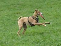 Dancing frisbee dog 5-06
