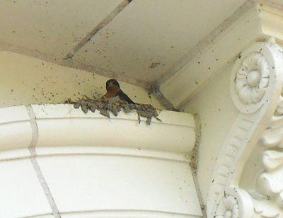 Swallow nest cu 1 5-20