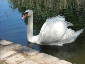 Dad swan